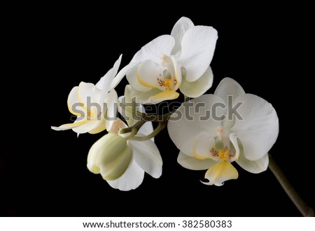 The branch of white orchid isolated on black background