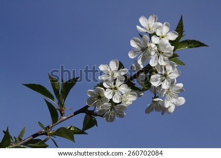 The branch with white flowers. Spring - stock photo