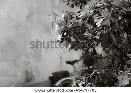 The branches of a bush (pittosporum tobira) in the Italian courtyard. A bicycle leaning against a shabby wall in the background. A monochrome image, black and white. Free space.