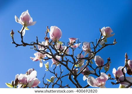 The branches of a magnolia on a background of bright blue sky , the sun backlight