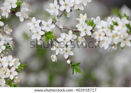 The branches of the tree with young green leaves, white flowers and buds. Selective focus with shallow depth of field