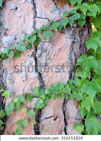 The branches of the young green ivy entwine big brown trunk of an old pine tree. - stock photo