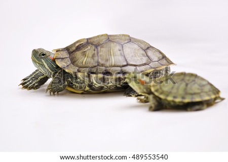 The Brazilian Red eared slider terrapins