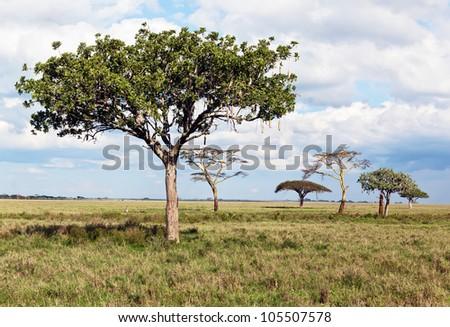 The breadfruit tree in Serengeti National Park - Tanzania - stock photo