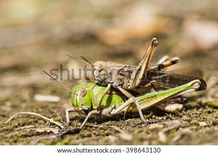 The breeding of locusts - stock photo