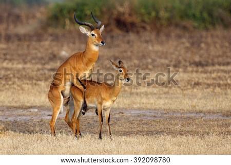 The breeding season with the kob (Kobus kob) on the plains - stock photo