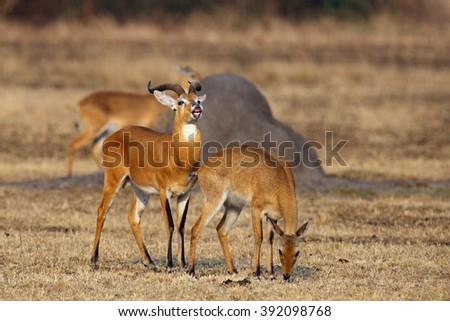 The breeding season with the kob (Kobus kob) on the plains with flehmen response also called the flehmen position - stock photo