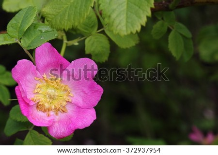 The bright single pink brier flower with yellow center after rain with drops of water on the petals and leaves. - stock photo