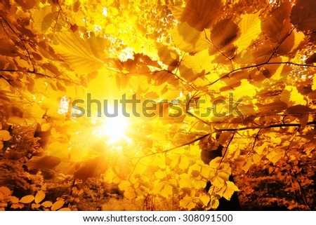 The bright sun beautifully shining through the gold leaves of beech trees in a forest - stock photo