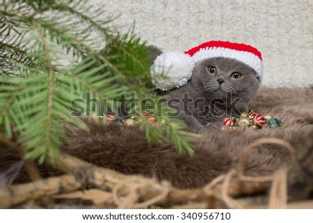 the British cat in a Christmas hat and a fir-tree  - stock photo
