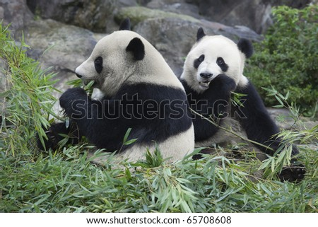 The brother panda which has a meal