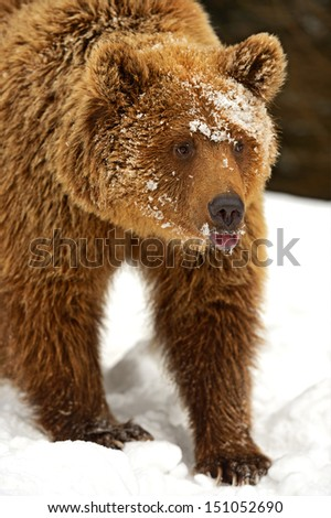 The brown bear in its natural habitat. - stock photo