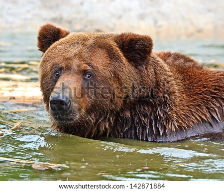 The brown bear is bathed in water