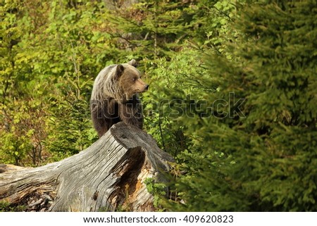The brown bear. Photo was taken in Slovakia.The brown bear is found in the whole of Europe.