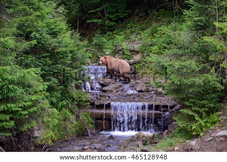 The brown bear stands on its hind legs in the woods