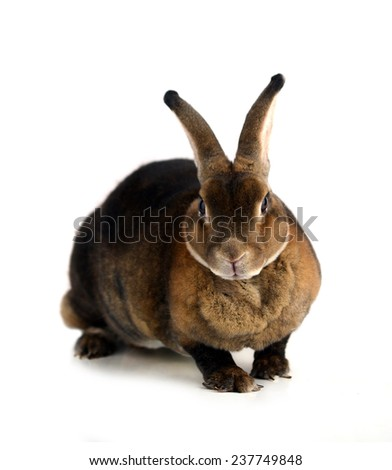 The Brown Bunny isolated on white background. - stock photo