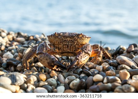 The brown crab walks on a pebble beach - stock photo