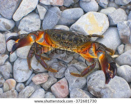 The brown crab walks on a pebble beach. - stock photo