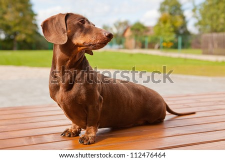 The brown dachshund sits on a terrace - stock photo