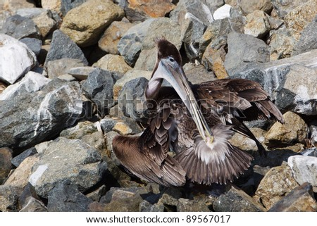 The Brown Pelican, Pelecanus occidentalis, preens by spreading oil from its uropygial gland near the base of its tail across its feathers with its beak. The oil helps the feathers be water resistant.