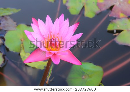 The Buddhist people would planted lotus for worship the Buddha. - stock photo