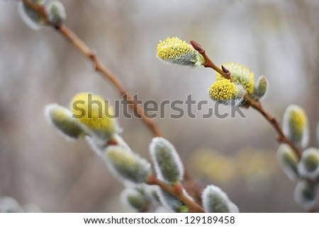 The buds on the willow twig bloom during the spring - stock photo