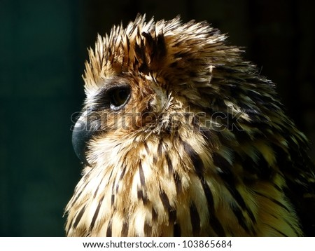 The Buffy Fish Owl (Bubo ketupu), also known as the Malay Fish Owl, is a species of owl in the Strigidae family. - stock photo