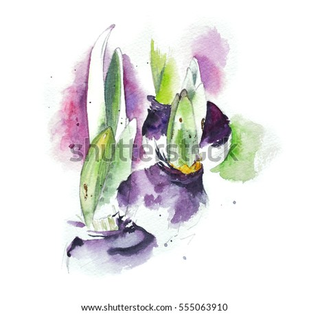 The bulbs of the hyacinth. Watercolor sketch