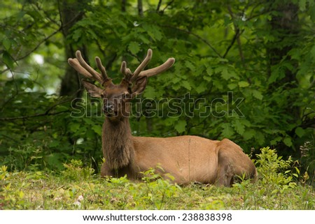 The Bull Elk relaxes in a summer shade along the Blue Ridge Parkway near the Great Smoky Mountains National Park. - stock photo