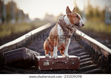 The bull terrier looks for the house. The dog waits for the owner. The lost dog. Bull terrier on the road. Dog on rails. Dog with suitcases. - stock photo