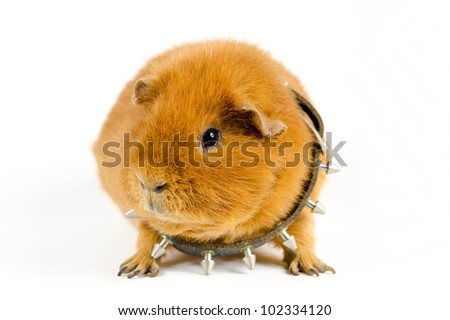 the Bullpig - stock photo