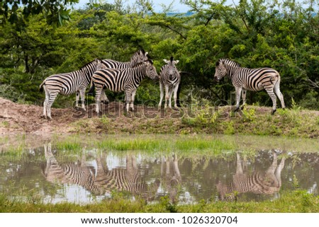 the burchell's zebras ,Equus burchellii, in the Kruger national park Game Reserve, South Africa