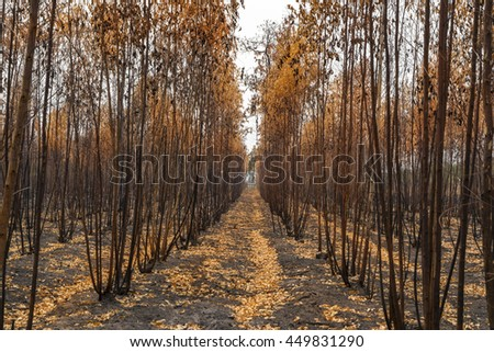 The burnt trees after forest fire. - stock photo