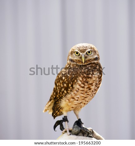 The Burrowing Owl (Athene cunicularia) is a small, long-legged owl found throughout open landscapes of North and South America. - stock photo