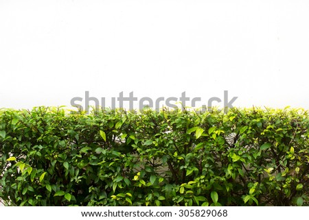 The bush leaf  with the white background , Natural shrub fence on white background - stock photo