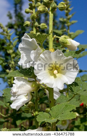 The bush mallow (Hibiscus syriacus), a magnificent flower gardens. - stock photo