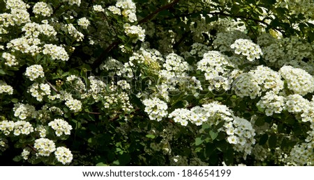 Bush white flowers spring stock photo safe to use 184654199 the bush white flowers in the spring mightylinksfo