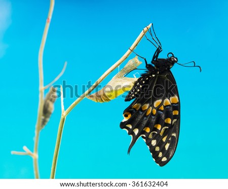 The Butterfly   Eastern Black Swallowtail (Papilio polyxenes) emerging from it's chrysalis  on a blue background - stock photo