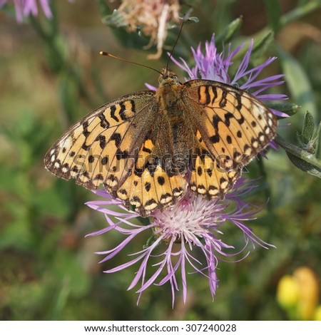 The butterfly Lesser Marbled Fritillary (Brenthis ino) on the flower. - stock photo