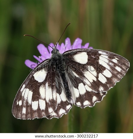 The butterfly marbled white (Melanargia galathea) on the flower.