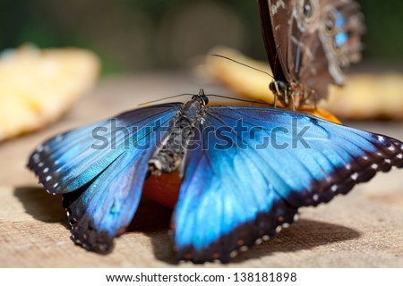 The butterfly Morpho butterflies are found primarily neotropical in South America and in Mexico and Central America - stock photo