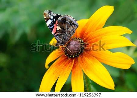 The butterfly on yellow flower of rudbeckia