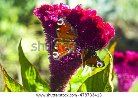 The butterfly sits on a summer celosia