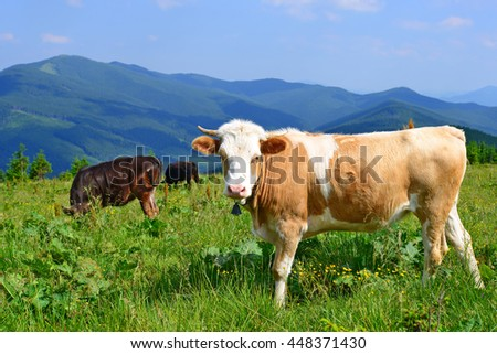 The calf on a summer pasture in the Carpathian Mountains - stock photo