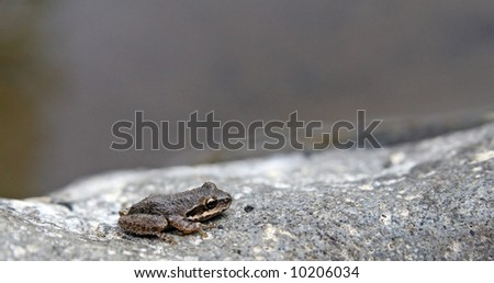 The California Treefrog (Pseudacris cadaverina) can be found in east and west facing arroyos and seems to prefer deeply cut canyons with lots of granitic rock. - stock photo