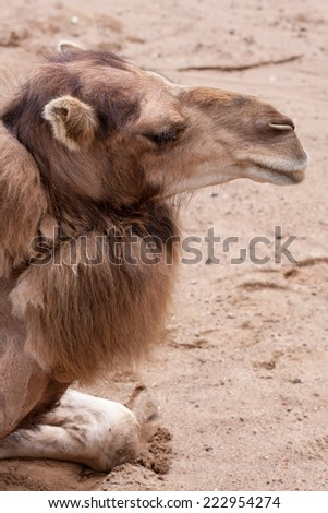 The camel sitting and sleeping on the dune - stock photo