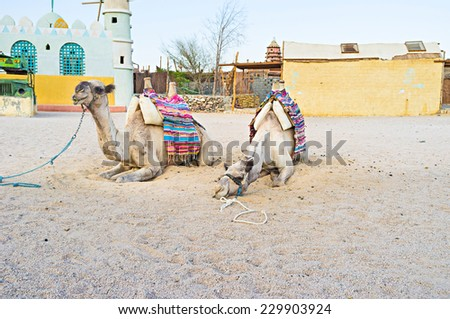 The camels with the  buildings of the Bedouin village on the background, Sahara, Egypt.