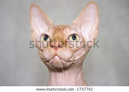 the Canadian sphynx. Cat's portrait - stock photo