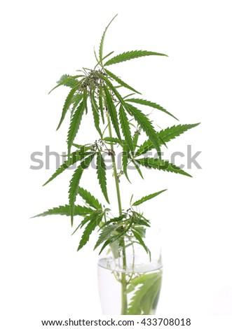 The cannabis plant, marijuana plant, isolated on white background. isolate - stock photo
