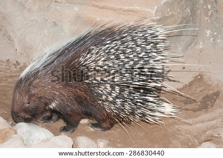 The Cape porcupine or South African porcupine, Hystrix africaeaustralis, is native to central and southern Africa. - stock photo